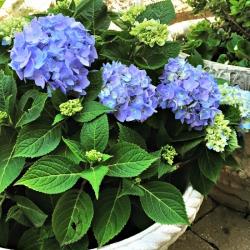 nantucket-blue-hydrangea-in-pot