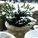 boxwood-in-snow