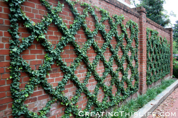 Georgetown brick wall and ivy trellis