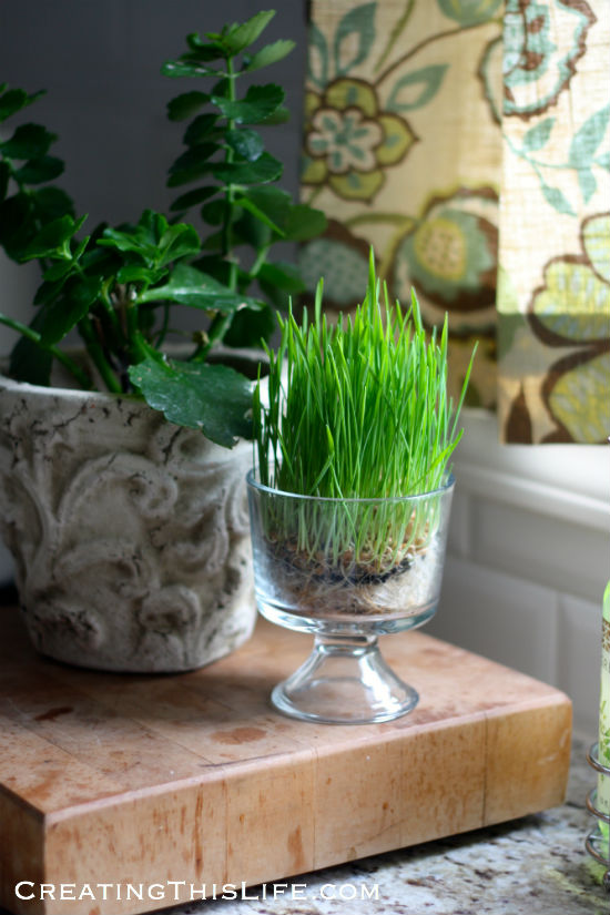 grow-wheat-grass-for-easter