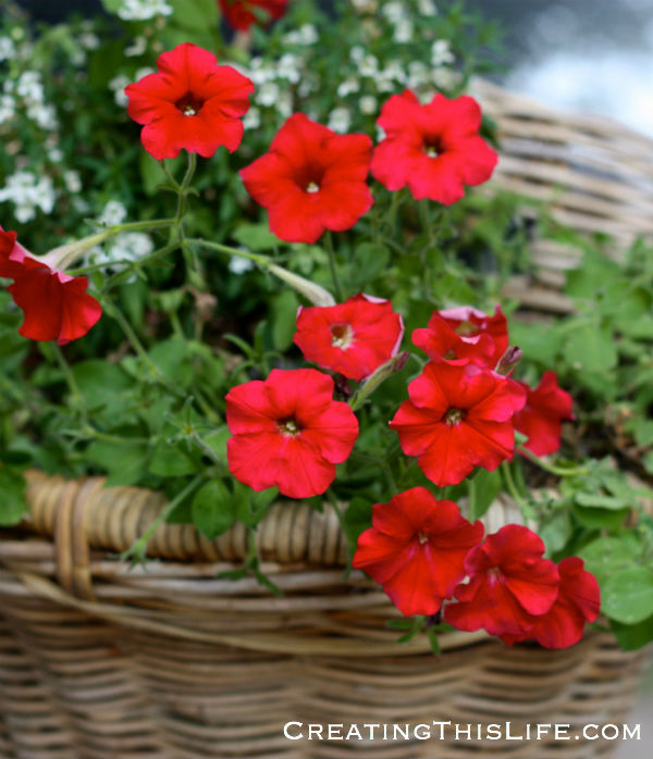 Red Petunias in basket