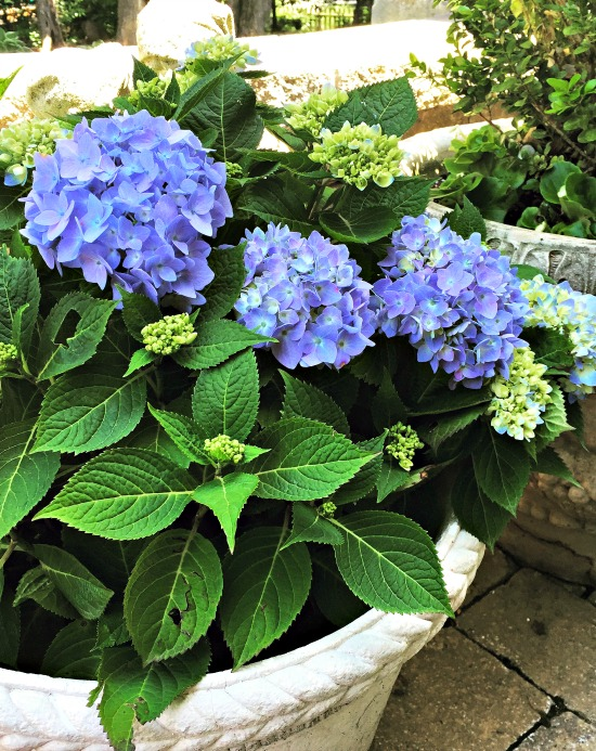 nantucket blue hydrangea in pot